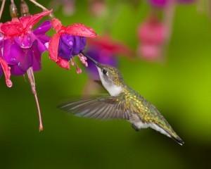 humming-bird-fuschia