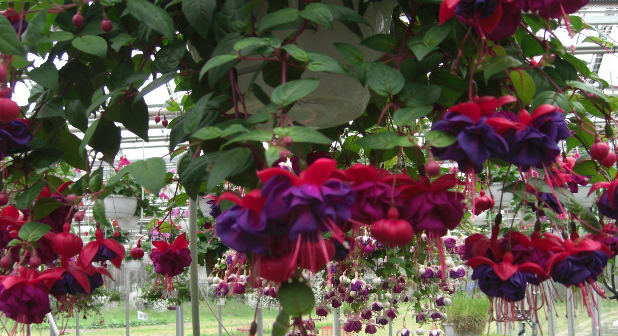 Küpe Çiçeği Çeşitleri