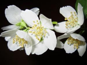jasmine-essential-oil-benefits-uses-scientific-research