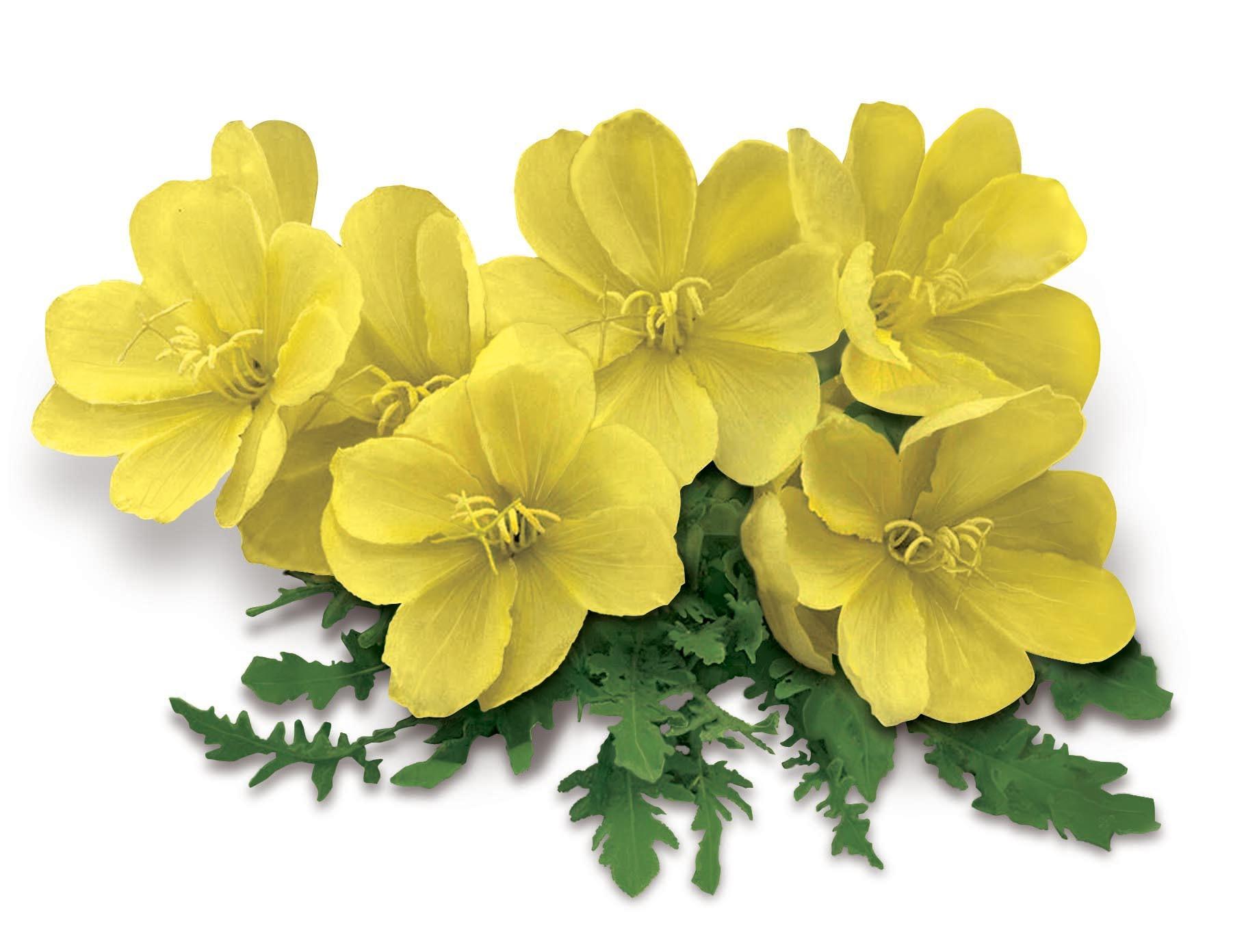 Çuha Çiçeği Yağının Faydaları