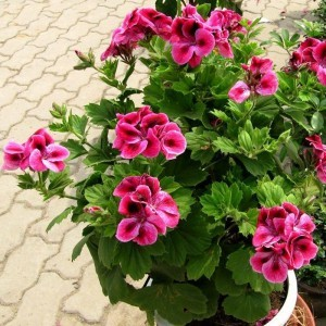 font-b-rose-b-font-red-font-b-geranium-b-font-seeds-bonsai-flower-pelargonium
