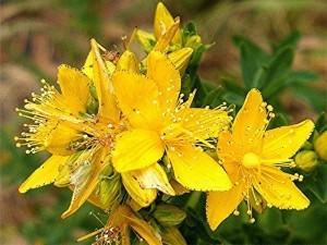21-27082013-124009-plant-hypericum-perforatum-007