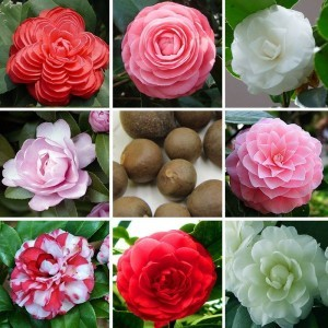 24-colors-available-font-b-camellia-b-font-seeds-potted-font-b-plants-b-font-garden