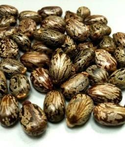 castor-seeds-510x600