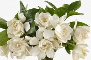 gardenia-flower-meaning