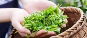 green-tea-weight-loss-diet