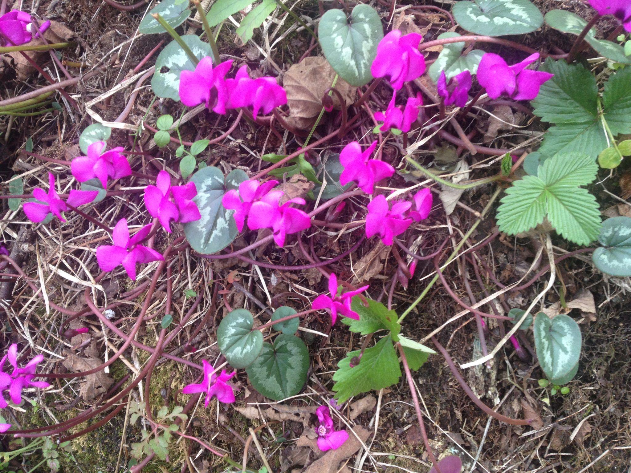 Cyclamen Kış Çiçeği