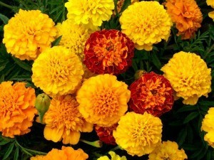 petite-mix-marigold-flowers-web-fl474-1