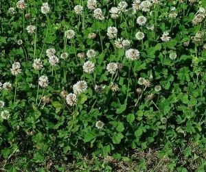 trifolium_repens_plant