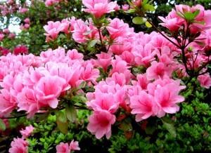 azalea_pink2