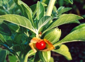how-to-grow-ashwagandha