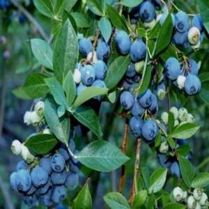 bluberry-likapa-yaban-mersini-fidani-3-001