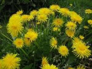 dandelions-grass-salve