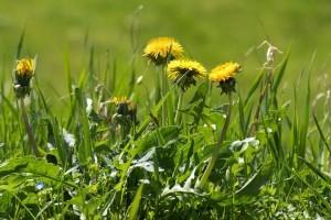 dandelions-lawn