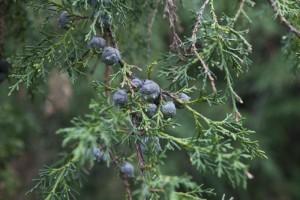 funeral-cypress-leaves-and-berries_medium