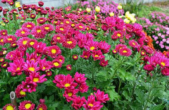 Kasımpatı (Krizantem) Çiçeği