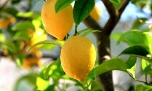 Limon Esansiyel Yağının Faydaları