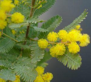 Akasyanın (Acacia) Sağlık Faydaları