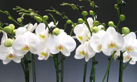 Orkide (Orchid) Bakımı