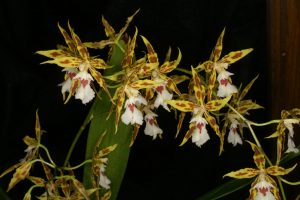 Odontoglossums