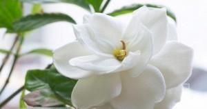 Parfüm Yapımında En Çok Kullanılan 4 Çiçek