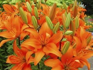 Zambak Çiçeği