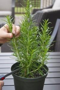 Evde Sürekli Bulundurulması Gereken Tıbbi Bitkiler